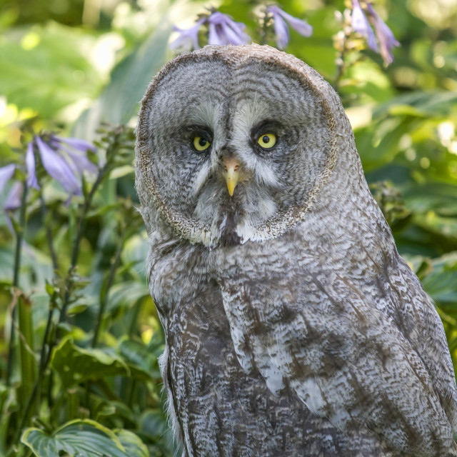 """Great Gray owl"" stock image"