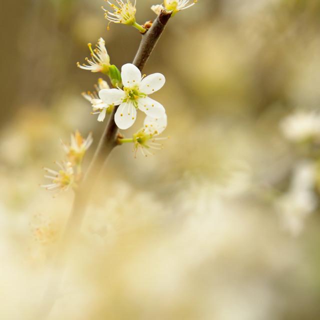 """Hawthorn blossom"" stock image"
