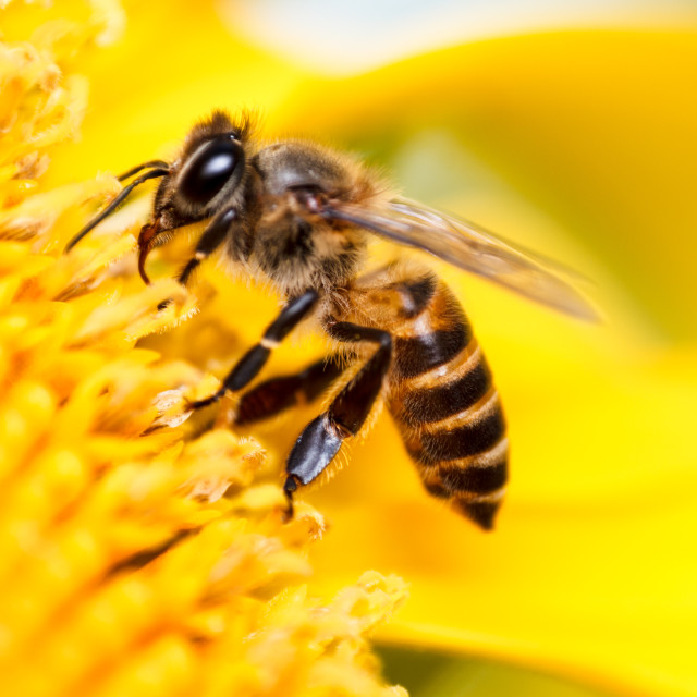 """Honey bee and sunflower"" stock image"