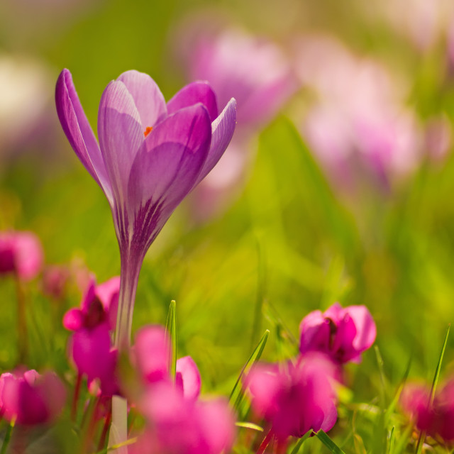 """Spring Beauty"" stock image"