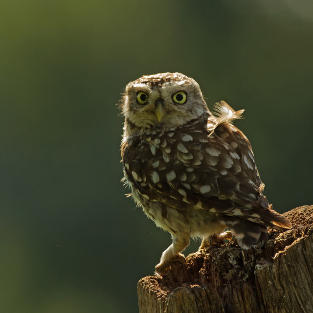 """Backlit Little Owl"" stock image"