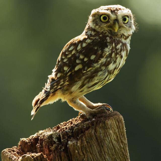 """Posing Little Owl"" stock image"