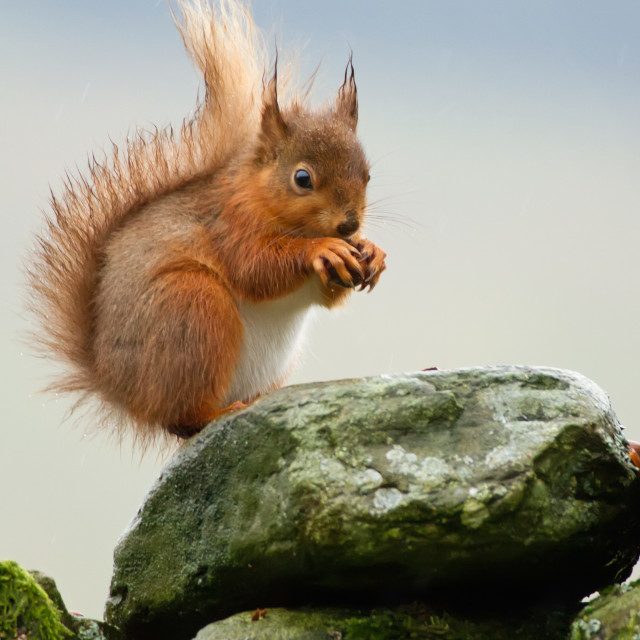 """Red Squirrel in the Rain"" stock image"