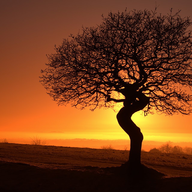 """Silhouetted Oak"" stock image"