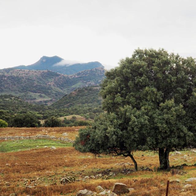 """""""Cork Oaks, Sierra de la Grazalema"""" stock image"""
