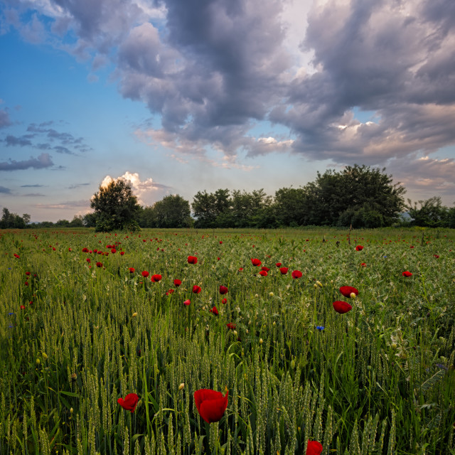 """Poppy Flowers"" stock image"