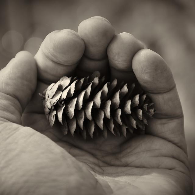 """Pine Cone Palm"" stock image"