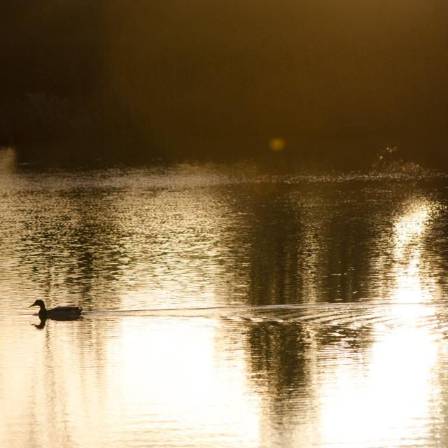 """Duck swimming at dawn"" stock image"