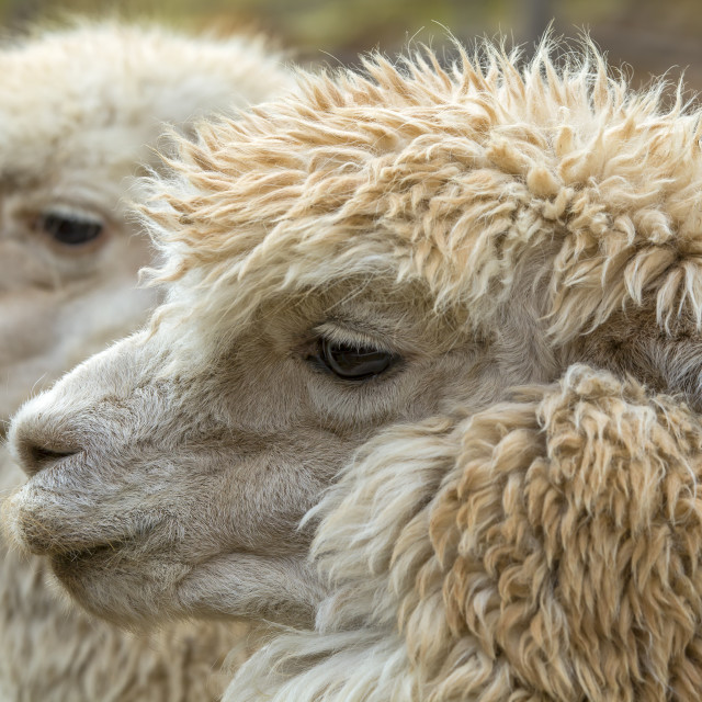 """Two Alpaca heads"" stock image"