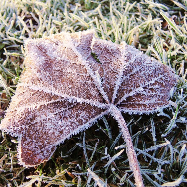 """A Frosted Leaf."" stock image"
