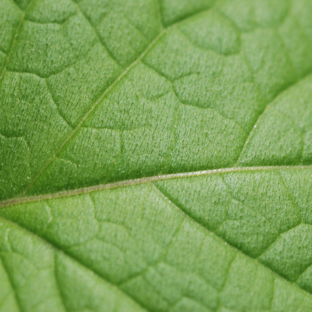 """Green Leaf close-up."" stock image"