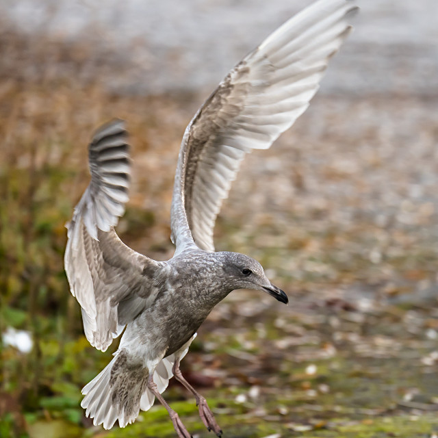 """Seagull touchdown"" stock image"