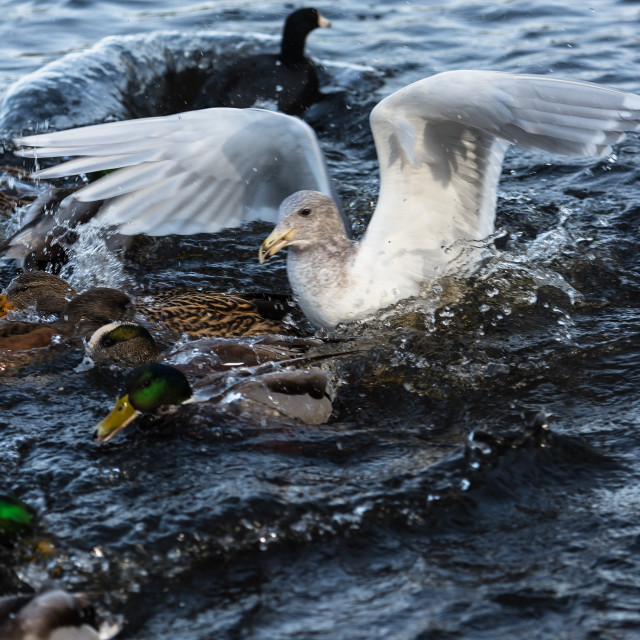 """Seagull among the ducks"" stock image"