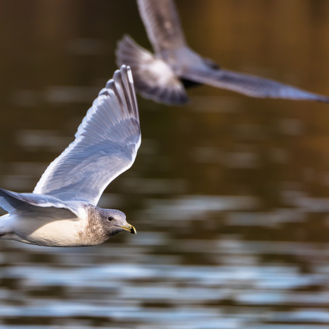 """""""Seagull flyby."""" stock image"""