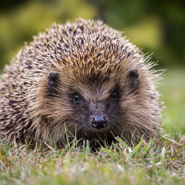 """Here Comes Prickles"" stock image"
