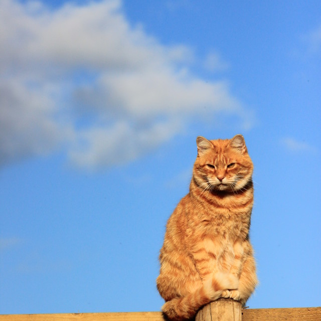 """Ginger cat on fence"" stock image"