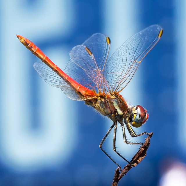 """Profile of a Dragonfly"" stock image"