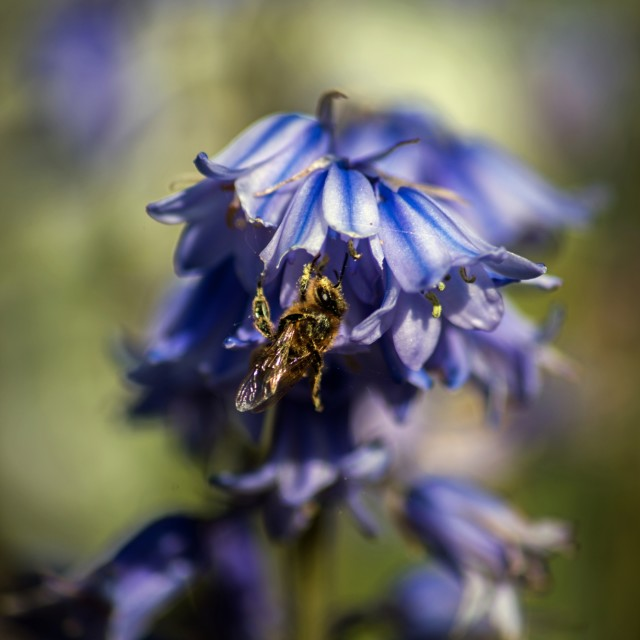 """""""Bee and Bluebells"""" stock image"""