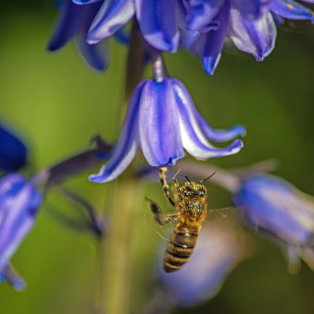 """The Bee and the Bluebell"" stock image"