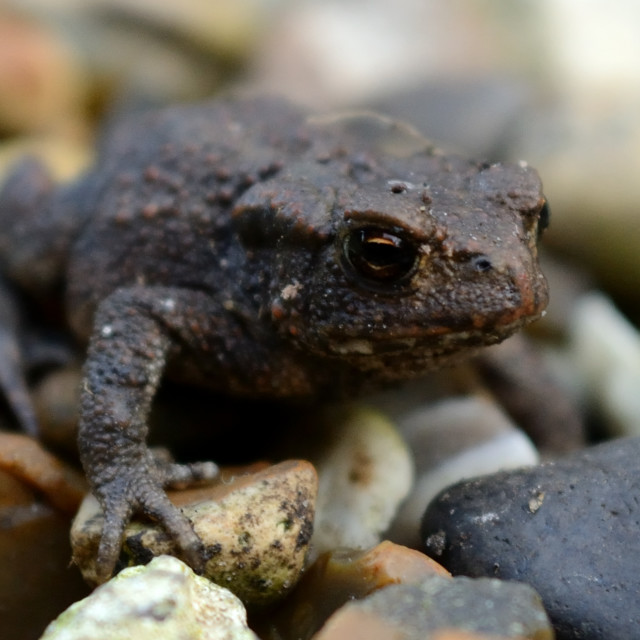 """""""Young toad"""" stock image"""