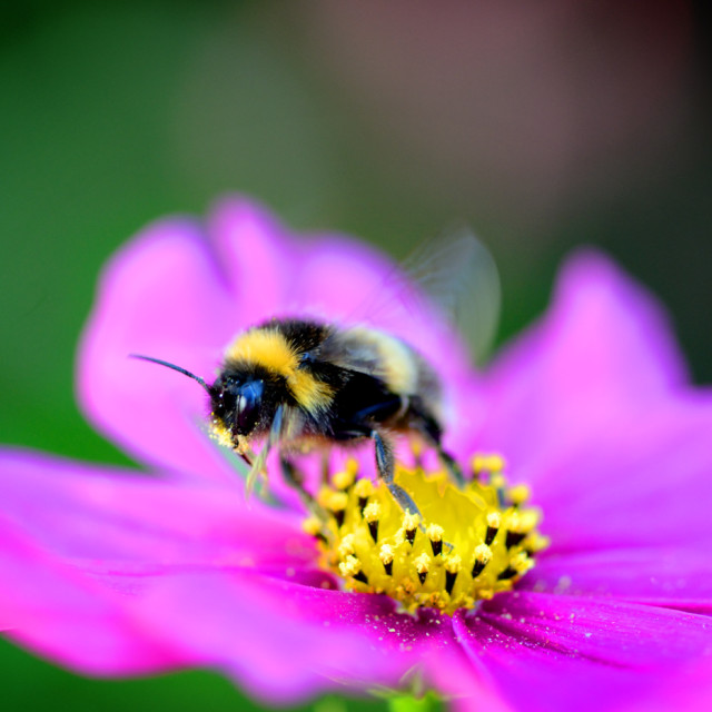 """""""Bee taking off"""" stock image"""