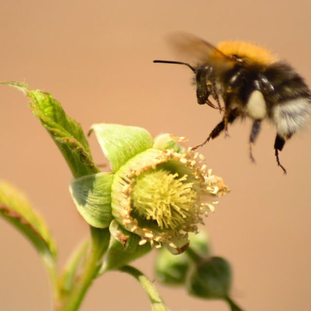 """""""Bee and Blackberry"""" stock image"""