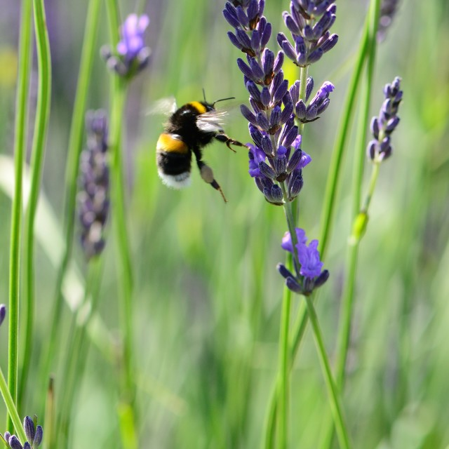 """""""Bee and Lavender"""" stock image"""