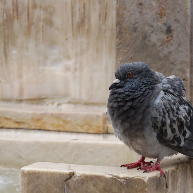 """Pigeon ruffling its feathers"" stock image"