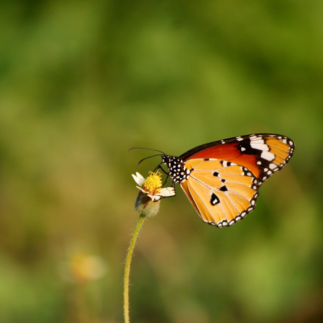 """Butterfly - Plain Tiger"" stock image"