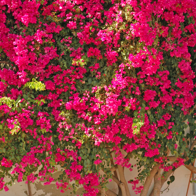 """bougainvillea"" stock image"
