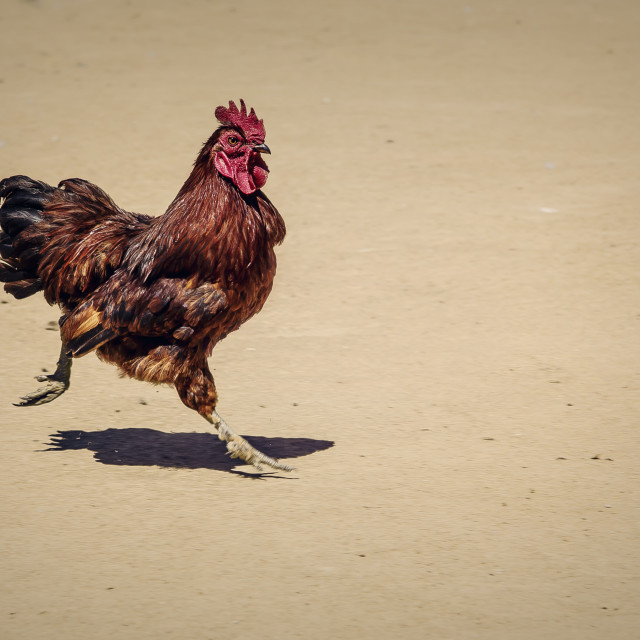 """""""Mad rooster"""" stock image"""