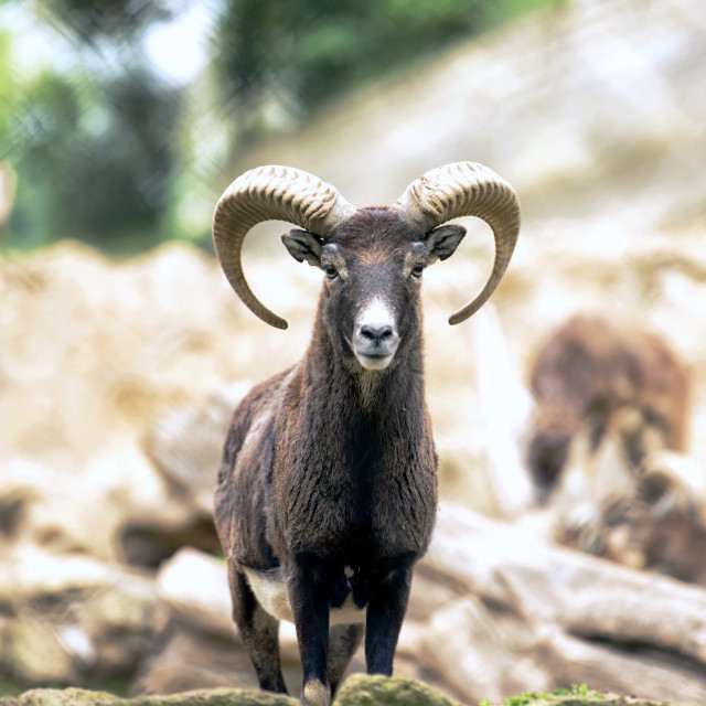 """Montecristo Goat"" stock image"
