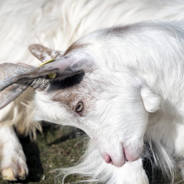 """""""White goat seated"""" stock image"""