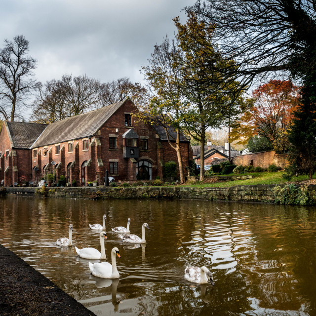 """Swans swimming towards the camera along a canal"" stock image"