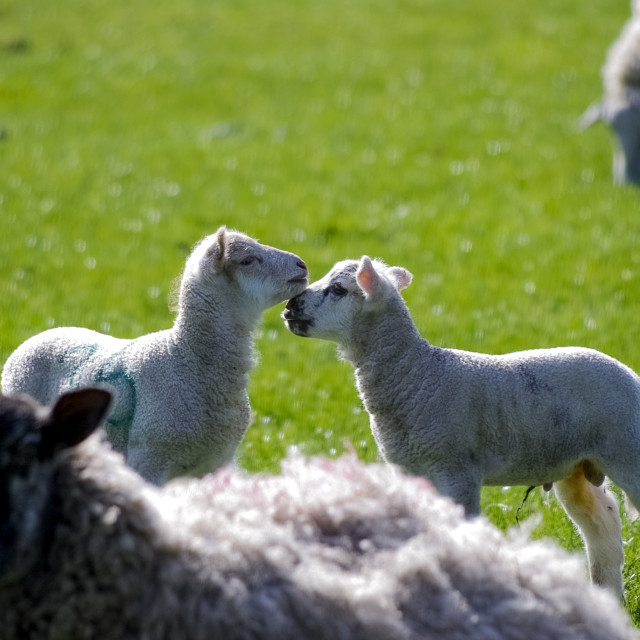 """Lambs greeting"" stock image"
