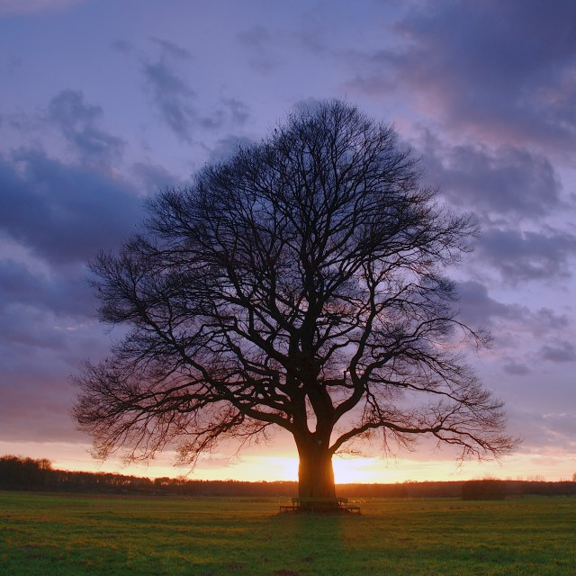 """Oak at sunset"" stock image"