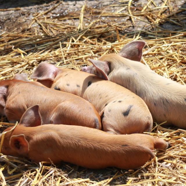 """Piglets"" stock image"