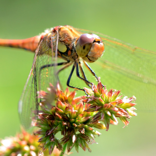 """""""Chaser dragonfly"""" stock image"""