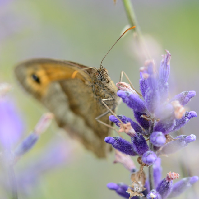"""""""butterfly and lavender"""" stock image"""
