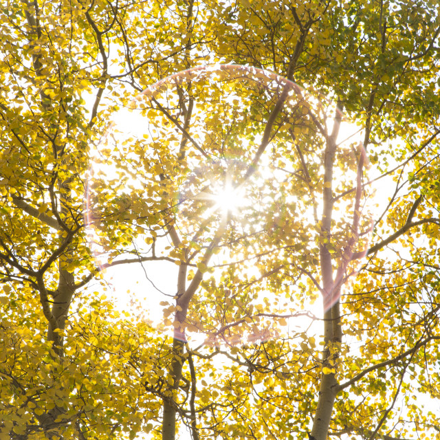 """Autumn Aspen Poplar Trees with Sun"" stock image"