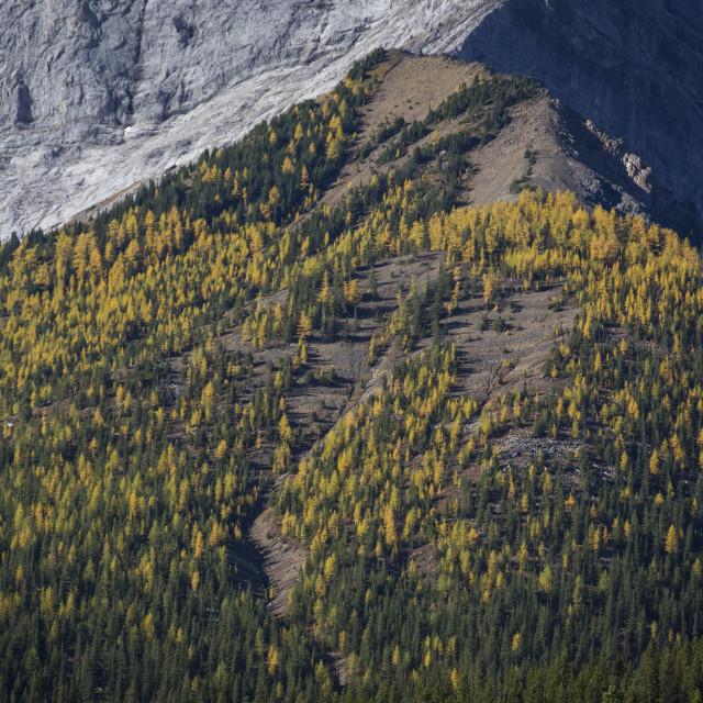 """Autumn Alpine Larch Trees 2"" stock image"