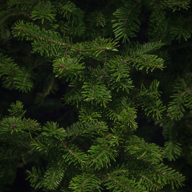 """Balsam Spruce Christmas Tree"" stock image"