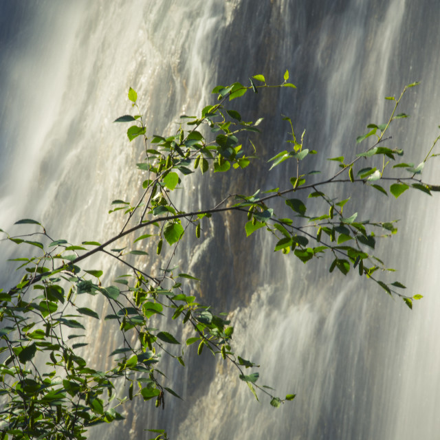 """Birch Tree Branch with Waterfall"" stock image"