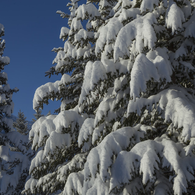 """Snow Covered Spruce Trees"" stock image"