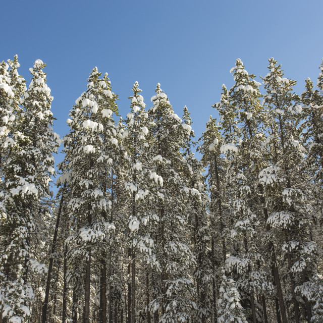 """Fresh Snow on Pine Trees"" stock image"