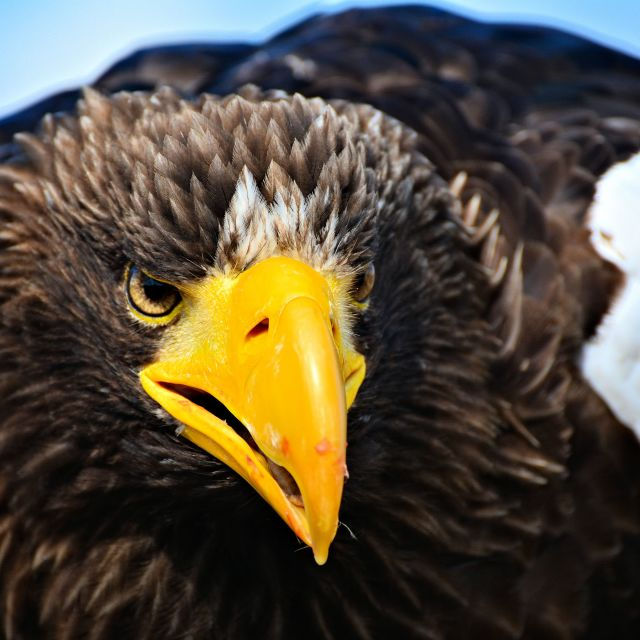 """Stellers Sea Eagle"" stock image"