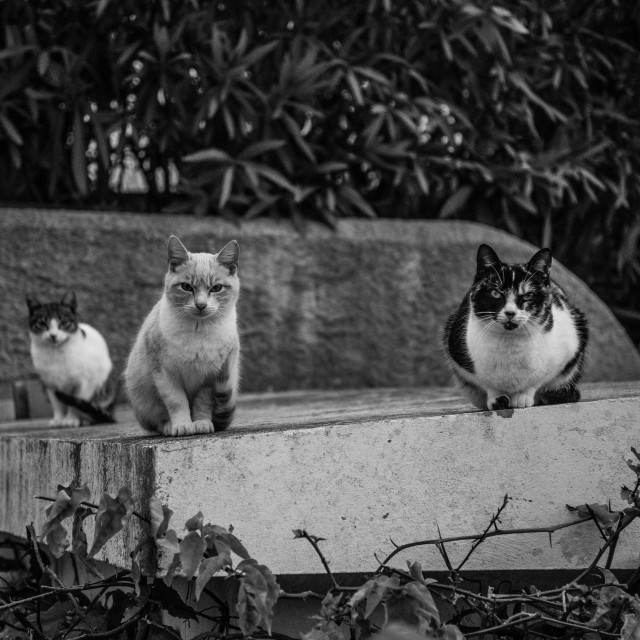 """""""Evil cats staring"""" stock image"""