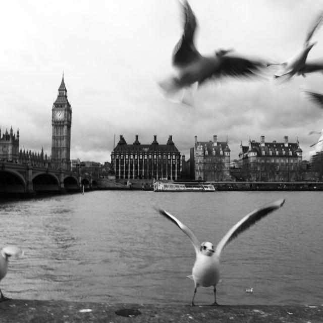 """Parliament Gulls"" stock image"