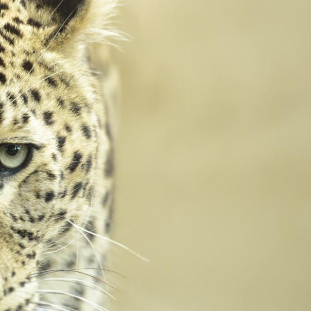 """Leopard close up"" stock image"