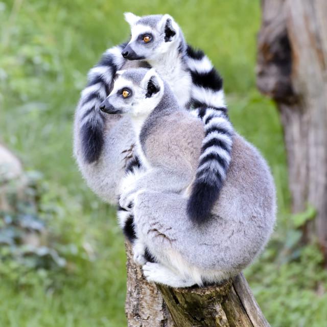 """Couple of Lemurs"" stock image"